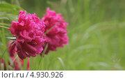 Купить «Большие розовые пионы на фоне травы», видеоролик № 4930926, снято 24 июня 2013 г. (c) Юрий Александрович Балдин / Фотобанк Лори