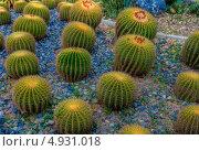Круглые кактусы в саду. Стоковое фото, фотограф Анна / Фотобанк Лори