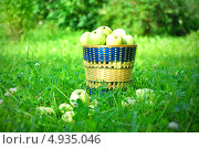 Купить «Желтые яблоки в плетеной корзине», фото № 4935046, снято 24 июля 2013 г. (c) Елена Шуршилина / Фотобанк Лори