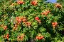Роза морщинистая (шиповник морщинистый)  с плодами, фото № 4935430, снято 2 августа 2013 г. (c) Ирина Борсученко / Фотобанк Лори