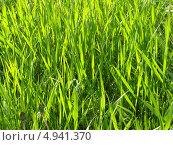Трава, фон. Стоковое фото, фотограф Константин Левада / Фотобанк Лори