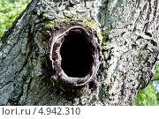 Купить «Дупло в стволе старого дерева», фото № 4942310, снято 4 августа 2013 г. (c) Владимир Кошарев / Фотобанк Лори
