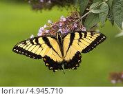 Бабочка Махаон на растении. Стоковое фото, фотограф Petro Shostak / Фотобанк Лори