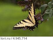 Бабочка Махаон. Стоковое фото, фотограф Petro Shostak / Фотобанк Лори