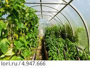 Купить «Внутри пластиковой теплицы с огурцами и томатами», фото № 4947666, снято 12 августа 2013 г. (c) Валерия Потапова / Фотобанк Лори