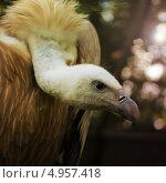Белоголовый Сип. Griffon Vulture. Стоковое фото, фотограф Mihhail Fainstein / Фотобанк Лори