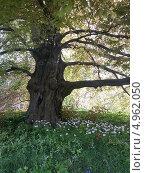 Старое кряжистое дерево на полянке среди цветов. Стоковое фото, фотограф Elena Ritschard / Фотобанк Лори