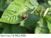 Колорадский жук. Стоковое фото, фотограф Роман Негруца / Фотобанк Лори