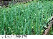 Грядка зеленого лука. Стоковое фото, фотограф Елена Бачурина / Фотобанк Лори
