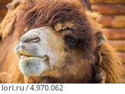 Верблюд крупным планом. Стоковое фото, фотограф Ирина Яздан Мехр / Фотобанк Лори