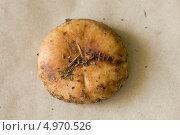 Шляпка тонкой свинушки. Стоковое фото, фотограф Анна Романова / Фотобанк Лори