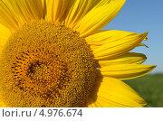 Подсолнух. Стоковое фото, фотограф Наталия Тихонова / Фотобанк Лори
