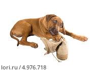 Смешная морда щенка родезийского риджбека с армейским ботинком своего хозяина. Стоковое фото, фотограф Ирина Кожемякина / Фотобанк Лори