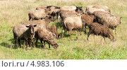 Купить «Стадо овец», фото № 4983106, снято 11 августа 2013 г. (c) Екатерина Овсянникова / Фотобанк Лори