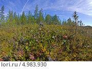 Ягоды вокруг пня на карельском болоте. Фишай. Стоковое фото, фотограф Вячеслав Беляев / Фотобанк Лори