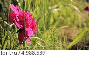 Купить «Яркий розовый пион в траве», видеоролик № 4988530, снято 24 июня 2013 г. (c) Юрий Александрович Балдин / Фотобанк Лори