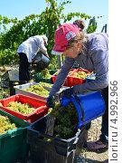 Купить «Сборщицы белого винограда Pinot Blanc (Пино Блан), на плантации Абрау Дюрсо, Новороссийск», фото № 4992966, снято 26 августа 2013 г. (c) Игорь Архипов / Фотобанк Лори