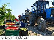 Купить «Сбор урожая винограда. Абрау Дюрсо, город Новороссийск», фото № 4993122, снято 26 августа 2013 г. (c) Игорь Архипов / Фотобанк Лори