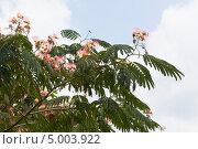 Купить «Альбиция ленкоранская на фоне неба», фото № 5003922, снято 14 июля 2013 г. (c) Николай Мухорин / Фотобанк Лори