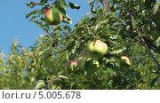 Купить «Яблоки на яблоне на фоне неба», видеоролик № 5005678, снято 31 августа 2013 г. (c) Андрей Некрасов / Фотобанк Лори