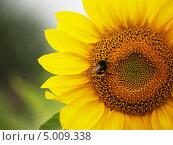 Шмель на подсолнухе. Стоковое фото, фотограф Артур Буйбаров / Фотобанк Лори
