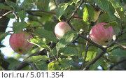 Купить «Яблоки на яблоне крупным планом», видеоролик № 5011354, снято 2 сентября 2013 г. (c) Андрей Некрасов / Фотобанк Лори