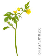Купить «Лютик едкий (Ranunculus acris).  Изолировано на белом», фото № 5018206, снято 1 июня 2013 г. (c) Татьяна Волгутова / Фотобанк Лори