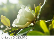 Купить «Белый цветок магнолии крупноцветковой. Magnolia Grandiflora», фото № 5025010, снято 24 июня 2013 г. (c) Яков Филимонов / Фотобанк Лори