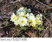 Купить «Примула (лат. Primula)», фото № 5027430, снято 17 апреля 2013 г. (c) Анна Маркова / Фотобанк Лори