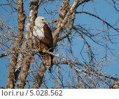 Белоголовый орлан на дереве. Стоковое фото, фотограф Надежда Зверева / Фотобанк Лори