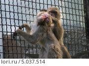 Две маленькие обезьянки в клетке. Одна обезьянка ищет блох в шерсти другой. Стоковое фото, фотограф Юрий Игнатьев / Фотобанк Лори