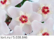 Купить «Хойя. Цветы крупным планом», фото № 5038846, снято 17 мая 2013 г. (c) Андрей Радченко / Фотобанк Лори