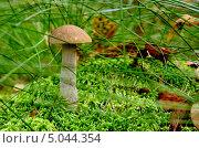 Купить «Подберёзовик обыкновенный (лат. Leccinum scabrum) на моховой кочке», фото № 5044354, снято 31 августа 2013 г. (c) Сергей Трофименко / Фотобанк Лори
