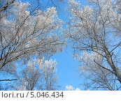 Купить «Кроны берез, покрытых инеем, на фоне голубого неба», фото № 5046434, снято 8 января 2007 г. (c) Светлана Ильева (Иванова) / Фотобанк Лори