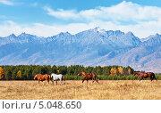 Купить «Лошади на осеннем лугу на фоне гор», фото № 5048650, снято 3 октября 2010 г. (c) Виктория Катьянова / Фотобанк Лори