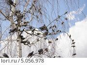 Купить «Голуби и воробьи на сухой берёзе», эксклюзивное фото № 5056978, снято 22 июля 2012 г. (c) Алёшина Оксана / Фотобанк Лори