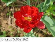 Красный весенний цветок. Стоковое фото, фотограф Просенкова Наталья / Фотобанк Лори