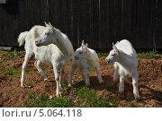 Коза с козлятами стоит у забора, смотрят в сторону. Стоковое фото, фотограф Евгений Волвенко / Фотобанк Лори