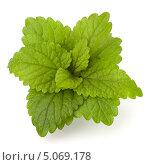 Купить «Зелёные листья мяты на белом фоне», фото № 5069178, снято 10 апреля 2012 г. (c) Natalja Stotika / Фотобанк Лори