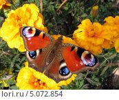 Бабочка павлиний глаз на бархатцах. Стоковое фото, фотограф Михаил Дозоров / Фотобанк Лори