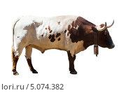 Купить «Большой бык, изолированно на белом фоне», фото № 5074382, снято 5 июля 2013 г. (c) Яков Филимонов / Фотобанк Лори