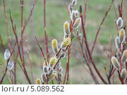 Верба весной. Стоковое фото, фотограф Алёшина Оксана / Фотобанк Лори