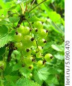 Купить «Зеленые гроздья красной смородины (лат. Ribes rubrum)», эксклюзивное фото № 5090470, снято 10 июня 2010 г. (c) lana1501 / Фотобанк Лори