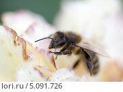 Пчела собирает нектар с цветка. Стоковое фото, фотограф Анастасия Новикова / Фотобанк Лори
