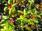 Северная ягода - Шведский дёрен (лат. Chamaepericlymenum suecicum), эксклюзивное фото № 5093550, снято 25 июля 2013 г. (c) Вячеслав Палес / Фотобанк Лори
