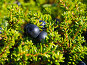 Северная ягода - вороника, (лат. Empetrum), фото № 5093562, снято 25 июля 2013 г. (c) Вячеслав Палес / Фотобанк Лори