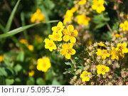 Купить «Цветущая лапчатка кустарниковая желтая мелкоцветковая (Potentilla fruticosa)», эксклюзивное фото № 5095754, снято 17 августа 2013 г. (c) Алёшина Оксана / Фотобанк Лори