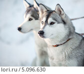 Купить «Две собаки породы Сибирский хаски в упряжке», фото № 5096630, снято 7 января 2013 г. (c) Андрей Кузьмин / Фотобанк Лори