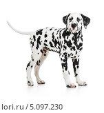 Купить «Собака породы далматин на белом фоне», фото № 5097230, снято 15 июля 2013 г. (c) Андрей Кузьмин / Фотобанк Лори