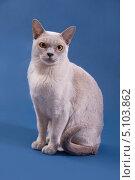 Купить «Портрет бирманской кошки на синем фоне», фото № 5103862, снято 12 мая 2013 г. (c) Asja Sirova / Фотобанк Лори